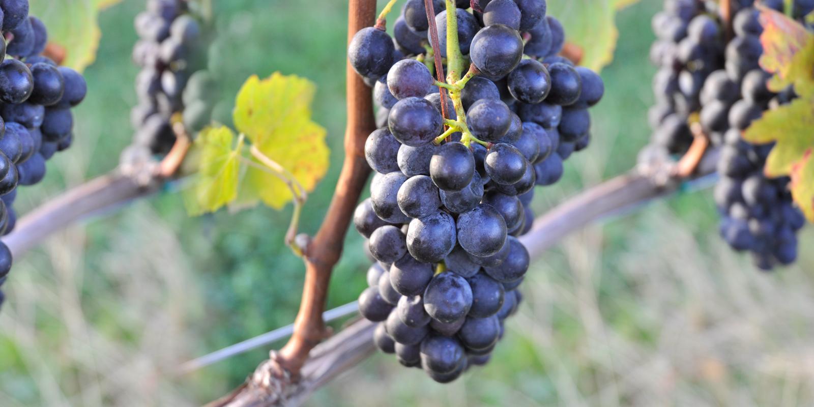 Crow Vineyard & Winery Harvest