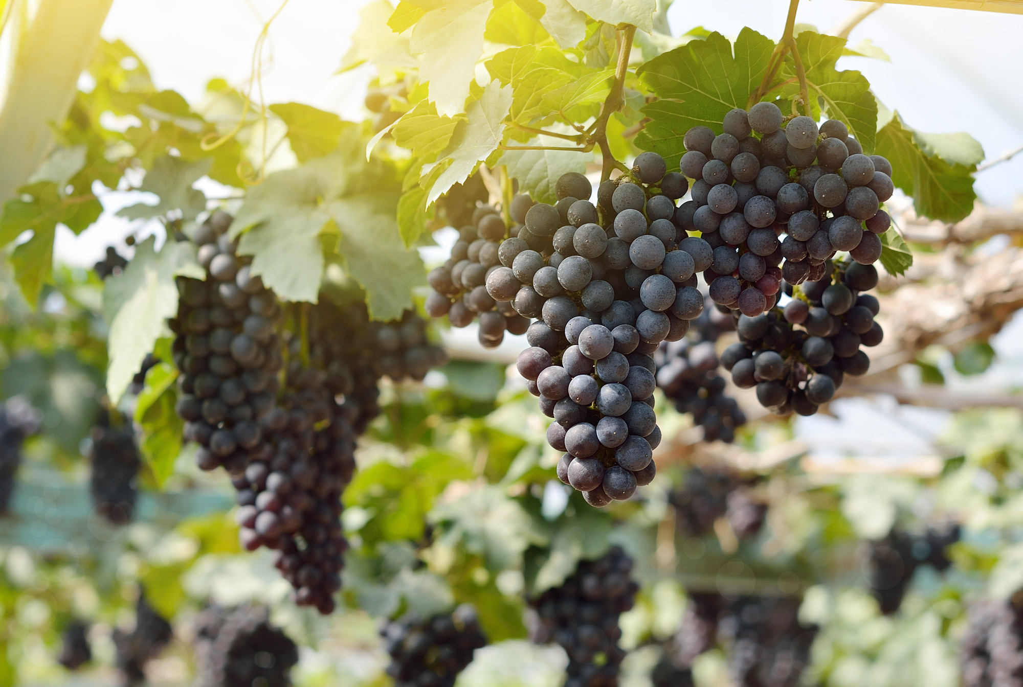Merlot for Crow Vineyard & Winery Wines